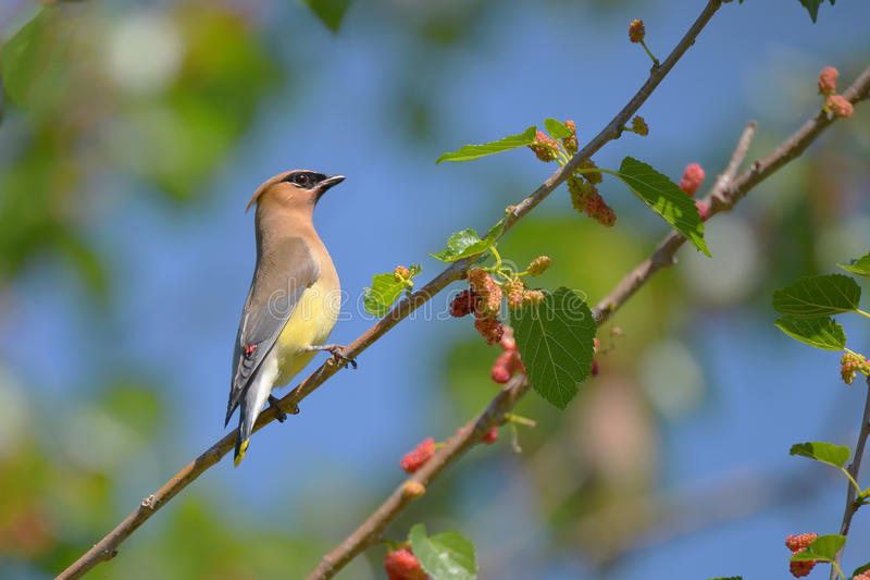 Cedar Waxwing. The Cedar Waxwing is a silky, shiny collection of brown, gray, and lemon-yellow, accented with a subdued crest, rakish black mask, and brilliant stock image