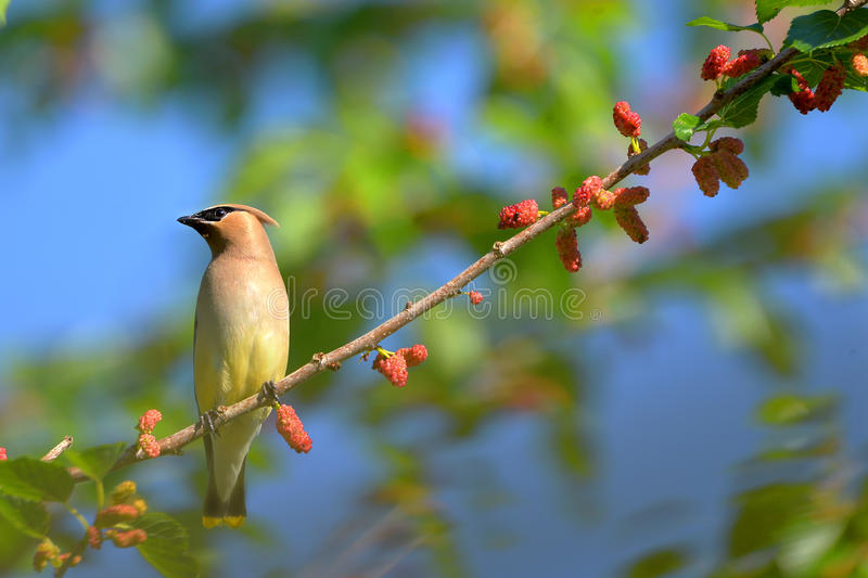 Cedar Waxwing. The Cedar Waxwing is a silky, shiny collection of brown, gray, and lemon-yellow, accented with a subdued crest, rakish black mask, and brilliant royalty free stock photos