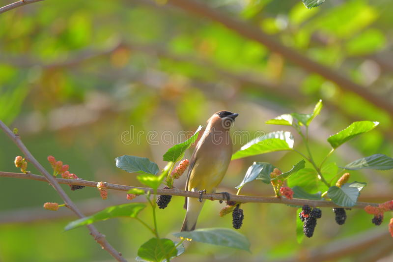 Cedar Waxwing. The Cedar Waxwing is a silky, shiny collection of brown, gray, and lemon-yellow, accented with a subdued crest, rakish black mask, and brilliant royalty free stock image