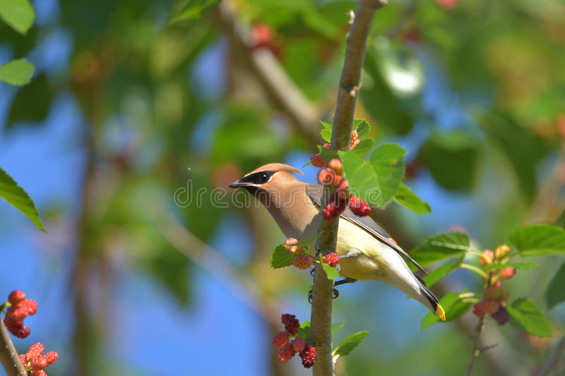 Cedar Waxwing. The Cedar Waxwing is a silky, shiny collection of brown, gray, and lemon-yellow, accented with a subdued crest, rakish black mask, and brilliant stock photography