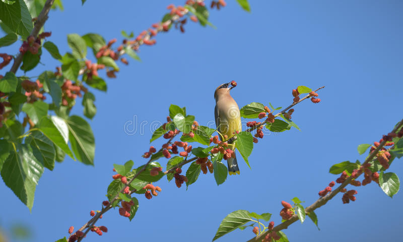 Cedar Waxwing. The Cedar Waxwing is a silky, shiny collection of brown, gray, and lemon-yellow, accented with a subdued crest, rakish black mask, and brilliant royalty free stock photo