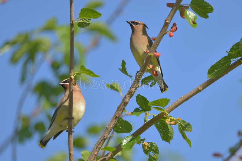Cedar Waxwing. The Cedar Waxwing is a silky, shiny collection of brown, gray, and lemon-yellow, accented with a subdued crest, rakish black mask, and brilliant royalty free stock images