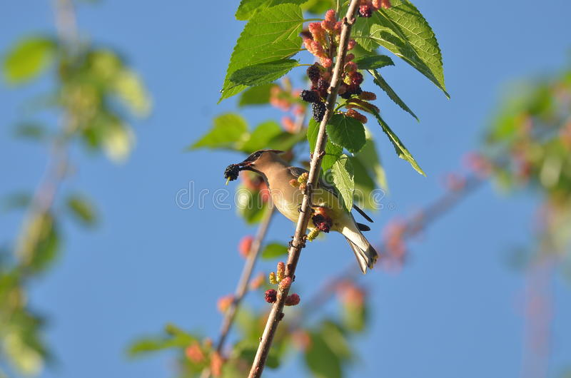 Cedar Waxwing. The Cedar Waxwing is a silky, shiny collection of brown, gray, and lemon-yellow, accented with a subdued crest, rakish black mask, and brilliant stock photo