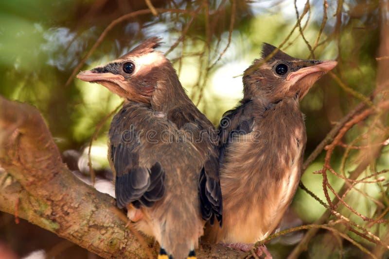 Cedar Waxwings op een tak royalty-vrije stock foto's