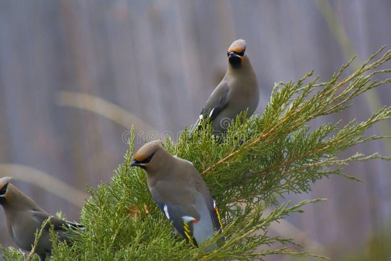 Cedar Waxwings op Jeneverbessen stock afbeeldingen