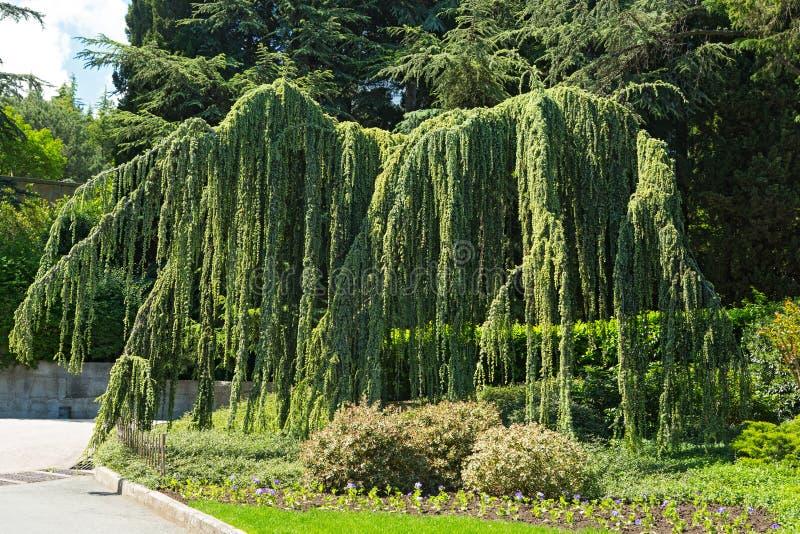 Cedar. Weeping - Cedrus atlantica, coniferous tree royalty free stock images
