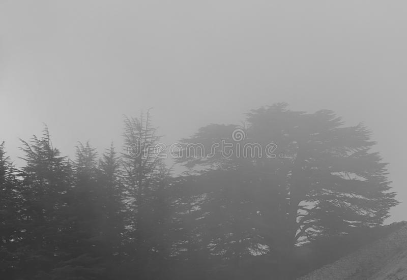 Cedars and Fog royalty free stock image