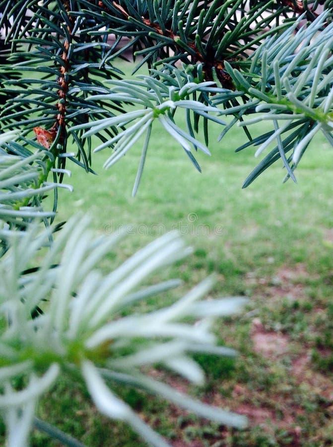 Ceder drzewo fotografia royalty free