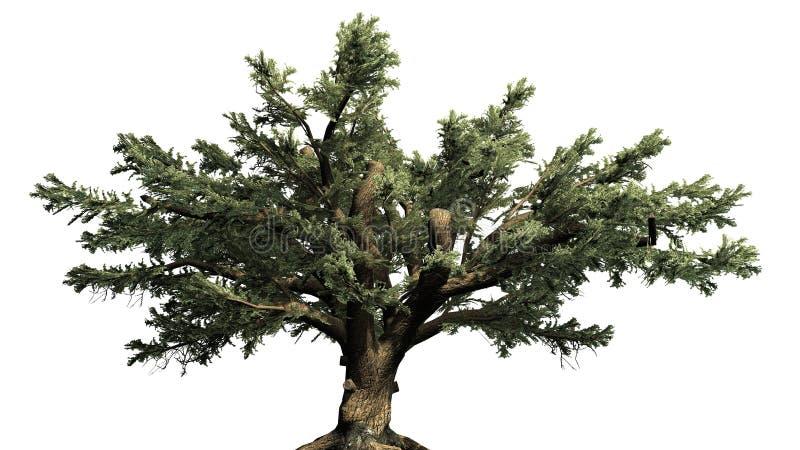 Ceder van de boom van Libanon royalty-vrije illustratie