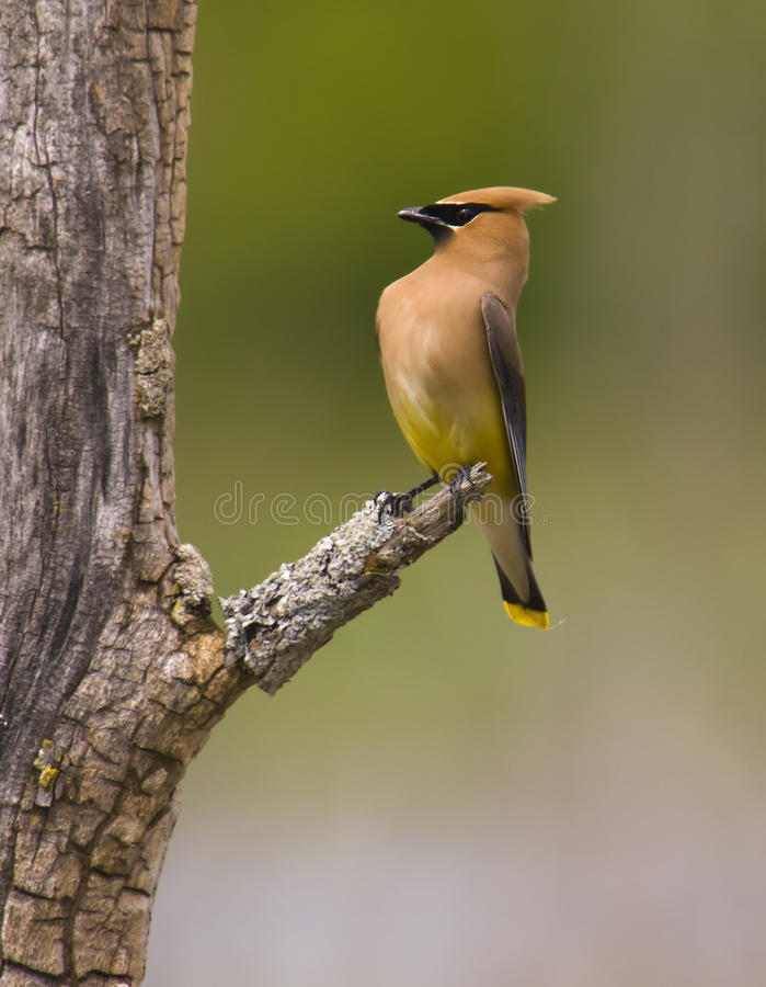 Free Ceder Waxwing Bird Royalty Free Stock Photos - 10218548
