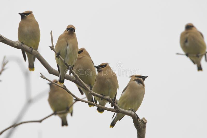 Cederpestvogel, Cedar Waxwing, Bombycilla-cedrorum royalty-vrije stock foto's