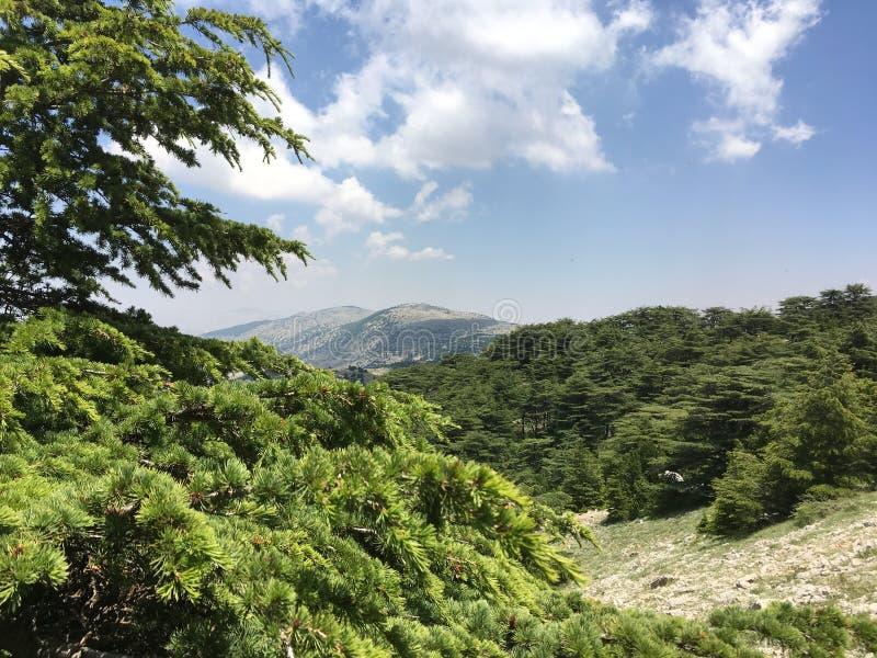 Cederträ av Libanon royaltyfri fotografi