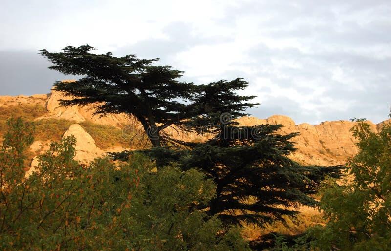 Cederträ av Libanon (Cedruslibani) och berg i solnedgång arkivbilder