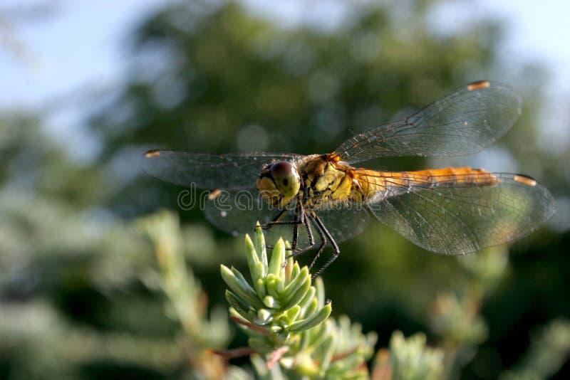 Download Cederträdraken äter Klipsk Silver Fotografering för Bildbyråer - Bild av fjäder, invertebrate: 978769