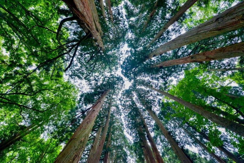Cederträträd royaltyfria bilder