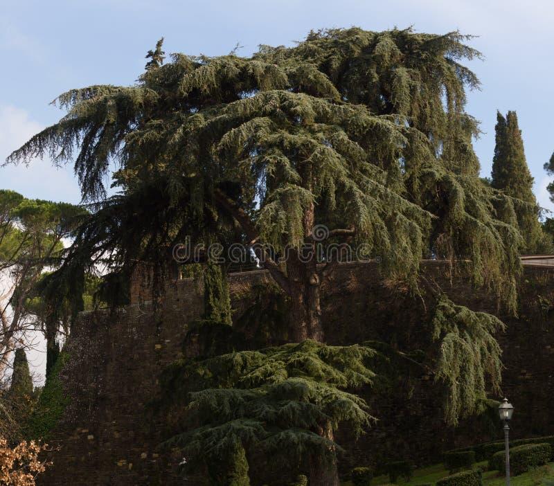 Cedr Liban przeciw niebieskiemu niebu fotografia royalty free