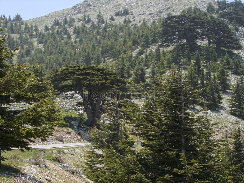 Cedr rezerwa w Liban podczas wiosny obraz royalty free