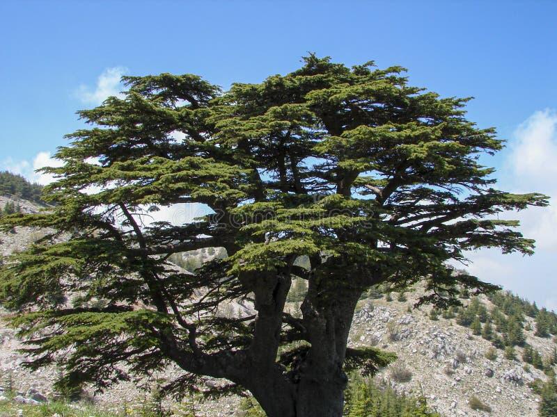 Cedr rezerwa w Liban podczas wiosny obrazy royalty free