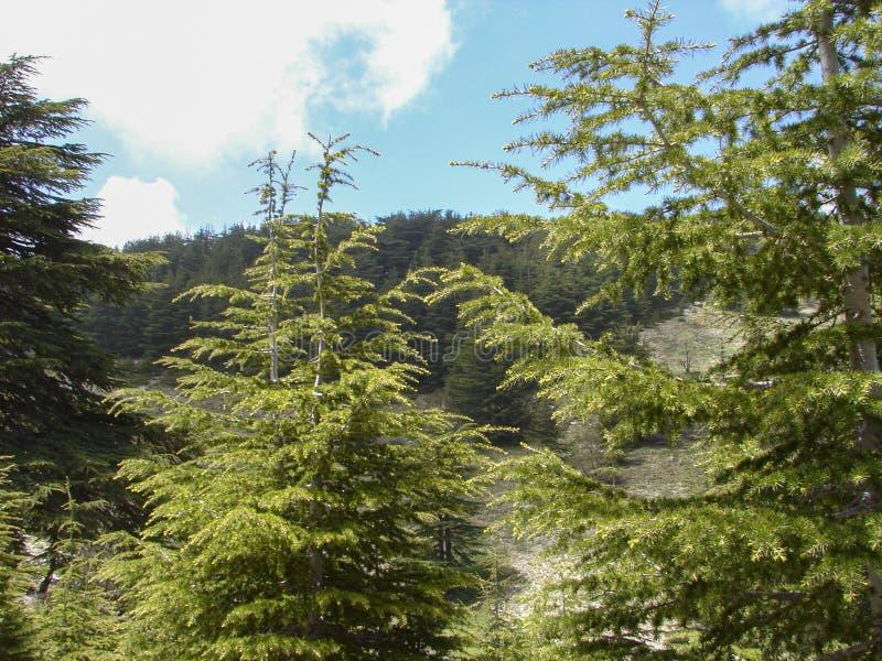 Cedr rezerwa w Liban podczas wiosny zdjęcie royalty free