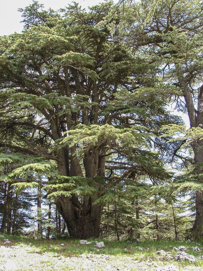 Cedr rezerwa w Liban podczas wiosny fotografia royalty free