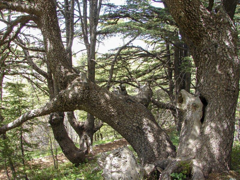 Cedr rezerwa w Liban podczas wiosny obraz stock