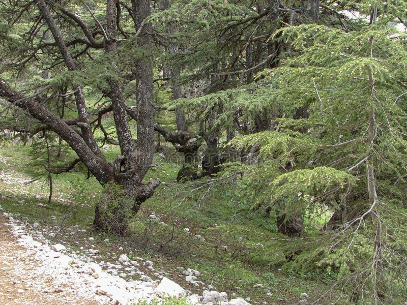 Cedr rezerwa w Liban podczas wiosny obrazy stock