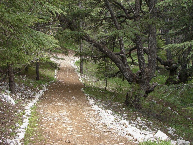 Cedr rezerwa w Liban podczas wiosny zdjęcie stock