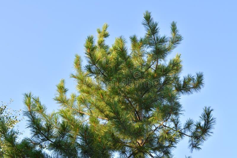 Cedr zieleni gałąź zaświecają słońcem przeciw jasnemu niebieskiemu niebu fotografia stock