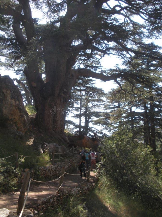 Cedri del Libano, passeggiata dei turisti fra i cedri immagini stock libere da diritti