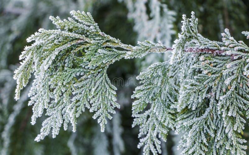 Cedro bianco - il thuja occidentalis si chiude su, profondità bassa fotografie stock