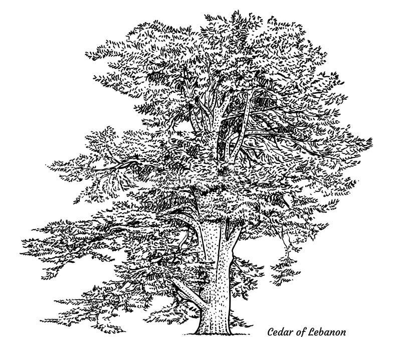Cedro da ilustração da árvore de Líbano, desenho, gravura, tinta, linha arte, vetor ilustração do vetor