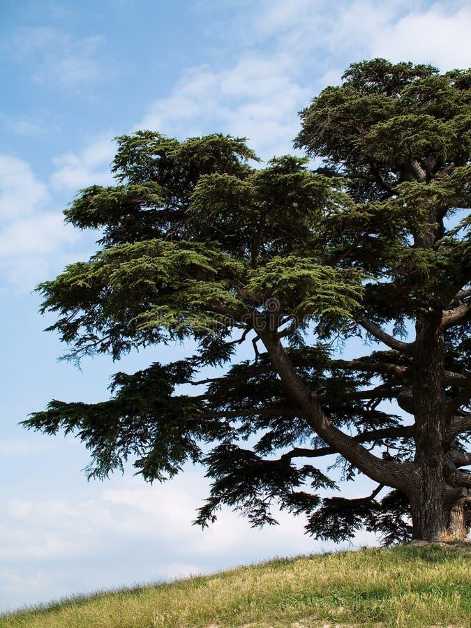 Cedro de Líbano foto de archivo libre de regalías