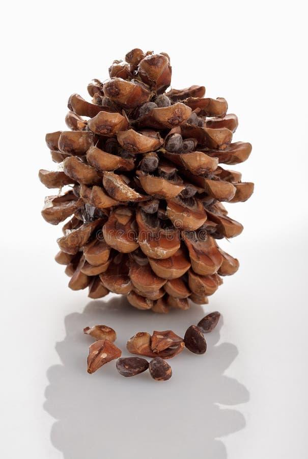 Cedro del cono di Libano isolato su bianco fotografia stock