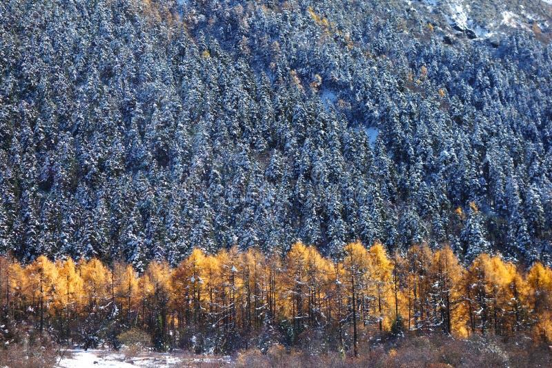 Cedro di autunno fotografia stock