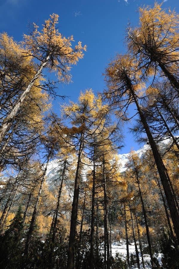 Cedro di autunno sotto cielo blu. fotografia stock libera da diritti