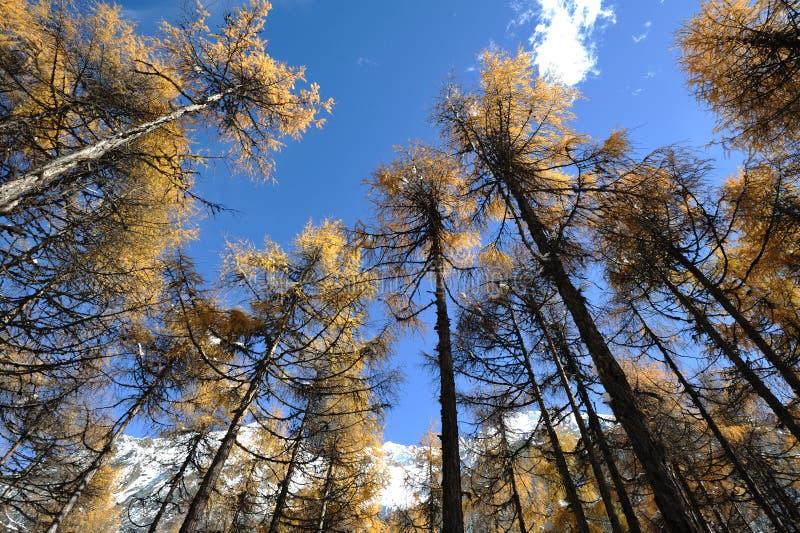 Cedro di autunno sotto cielo blu. fotografia stock