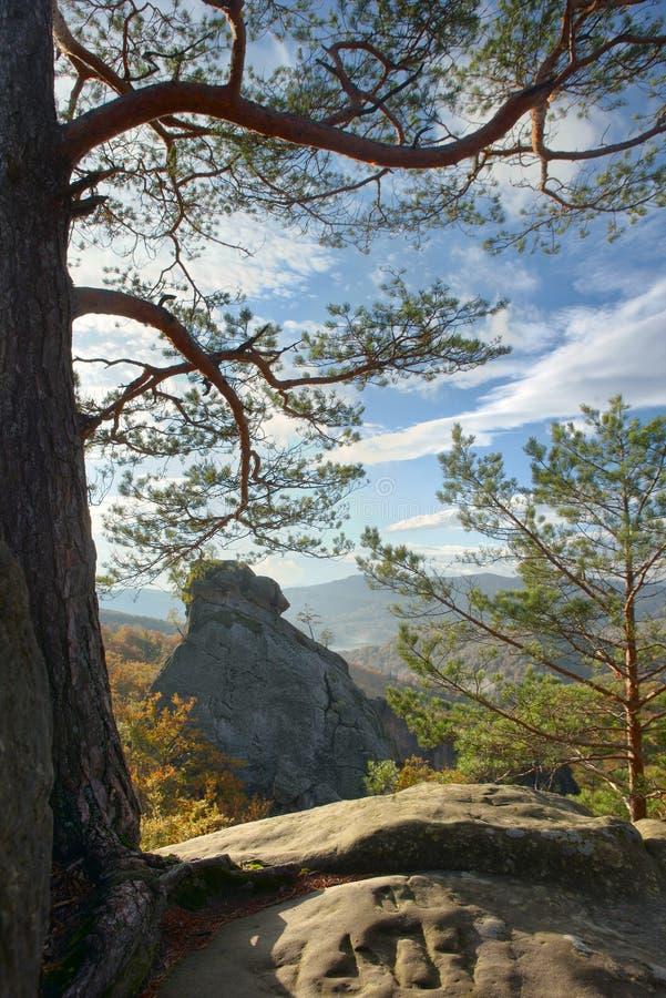 Cedro em uma rocha, imagem de stock