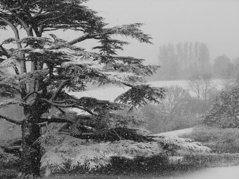 Cedro en una tempestad de nieve foto de archivo