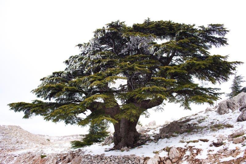 Cedro libanese fotografia stock libera da diritti