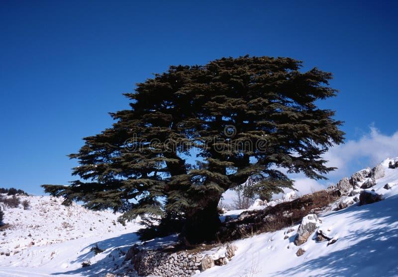 Cedro libanese immagini stock