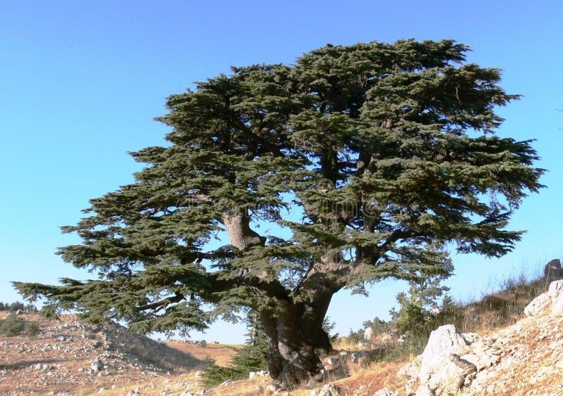 Cedro libanese. fotografia stock