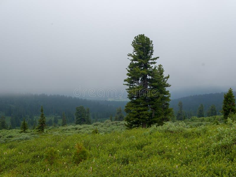 Cedro siberiano in mezzo alla pianura nella nebbia I paesaggi pittoreschi delle montagne siberiane fotografia stock