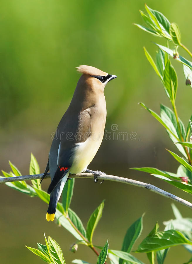 Cedro Waxwing fotos de stock royalty free