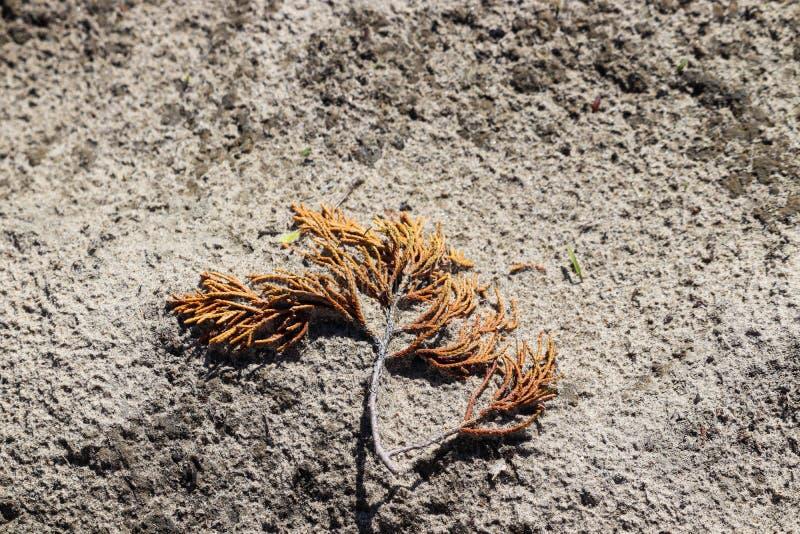 Cedrowa gałąź obracał brąz w piasku fotografia royalty free