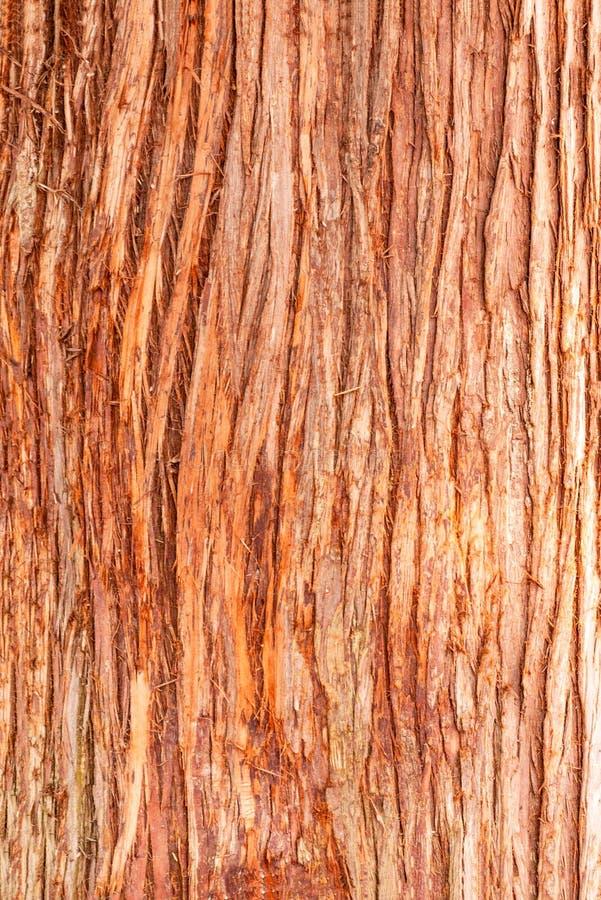 Cedrowego drzewa cortex tekstura Barkentyna czerwony cedrowy drzewo fotografia stock