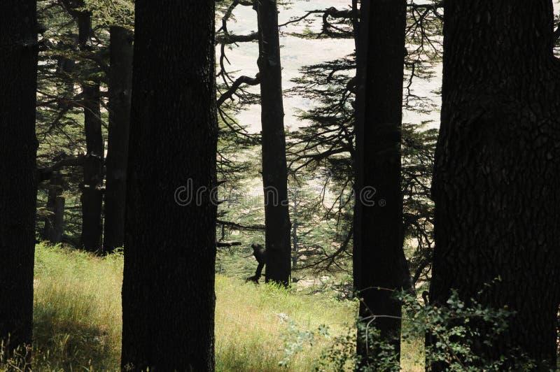 Cedrowi drzewa sylwetkowi zdjęcie royalty free
