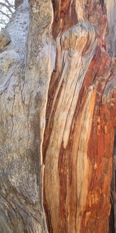Cedrowy Drewniany szczegół, Liban cedr zdjęcie royalty free