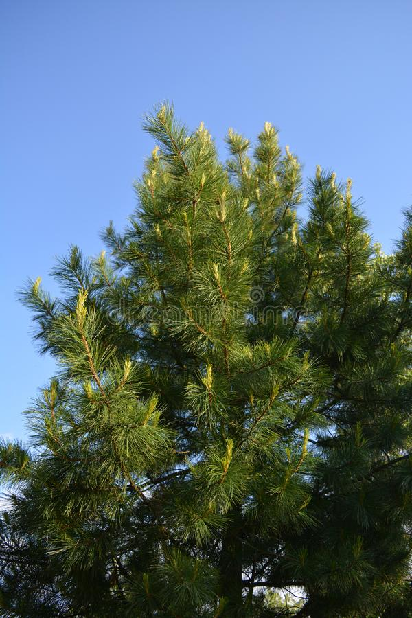 Cedrowy drzewo z potomstwami strzela na gałąź na tle jasny niebieskie niebo w wiośnie obrazy stock