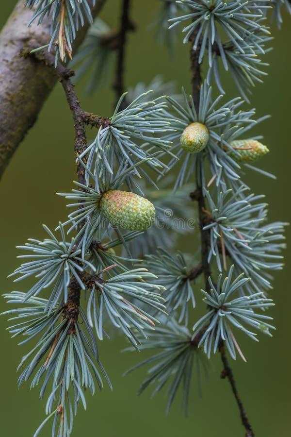 Cedrusdeodaraträdet som mestadels är bekant som cederträ med, kärnar ur kottar royaltyfri foto