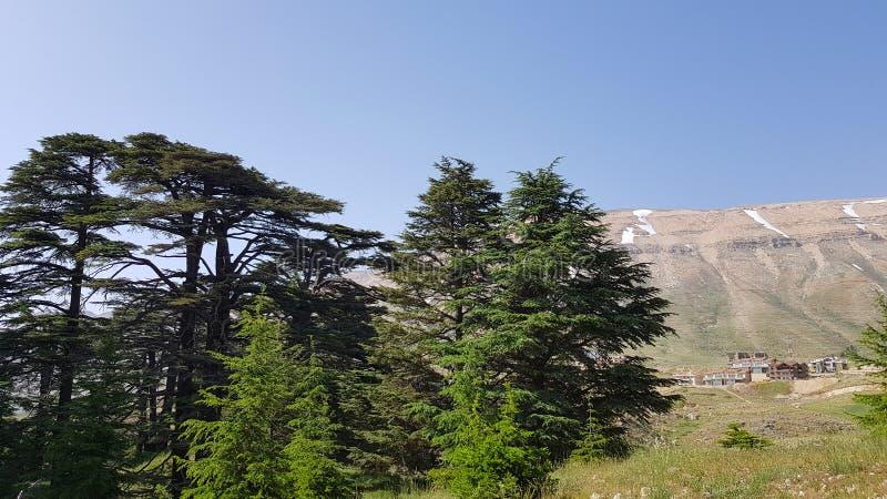 Cedry lokalizować przy Bsharri bóg, są jeden ostatnie pozostałości rozlegli lasy Liban cedr który jak tylko prosperujący obraz stock